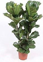 Pianta d'appartamento – Ficus lyrata –