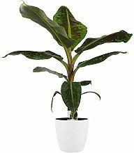Pianta d'appartamento – Musa in vaso bianco