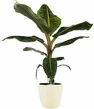Pianta d'appartamento – Musa in vaso crema