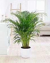Pianta d'appartamento – Palma Areca –