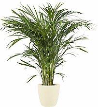 Pianta d'appartamento – Palma Areca in vaso