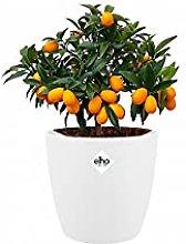 Pianta da frutta da Botanicly – Cumquat in vaso