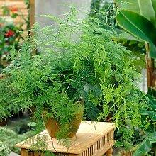 Pianta da Interno Asparagus Plumosus – 1 x Felce