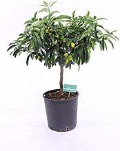 pianta del Kumquat Nano pianta del Mandarino