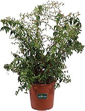 Pianta di Abelia Edouard Goucher pianta da esterno