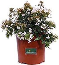 Pianta di Abelia Grandiflora pianta da giardino