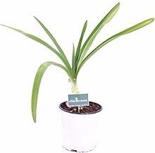 Pianta di Agapanthus Africanus Alba pianta di