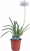 Pianta di Agapanthus pianta di Agapanto pianta di
