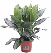 Pianta di Aglaonema pianta ornamentale pianta da