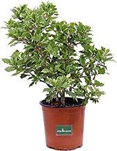 Pianta di Agrifoglio Pianta di Ilex Aquifolium