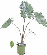 Pianta di Alocasia varietà Portodora Pianta vera