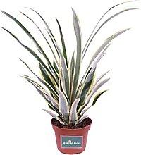 Pianta di Ananas Bracteatus Tricolor pianta