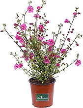 Pianta di Anisodontea Capensis Rosa pianta da