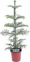 pianta di Araucaria Heterophylla pianta di pino da