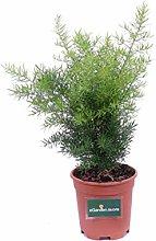 Pianta di Asparagus Sprengeri pianta da esterno