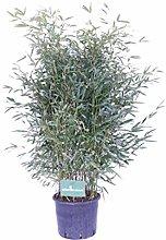 Pianta di Bamboo pianta di Phyllostachys pianta da