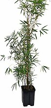Pianta di bambù fargesia in vaso 22cm