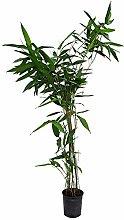 Pianta di Bambù Moso - Vaso 12 cm