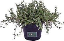 pianta di Barba di Giove pianta grassa pendente di