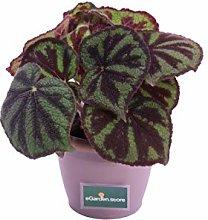 pianta di Begonia Masoniana pianta di begonia da