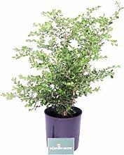 Pianta di Bosso Sempervirens Rotundifolia pianta