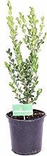 Pianta di Buxus Microphylla Faulkner pianta di