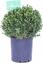Pianta di Buxus Microphylla Faulkner Sfera pianta