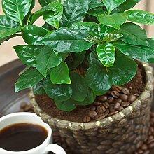 Pianta di Caffè Coffea Arabica - Arbusto Pianta
