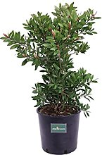 Pianta di Callistemon pianta da esterno pianta da
