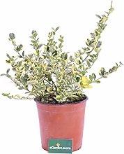 Pianta di Carissa Macrocarpa Variegata pianta da