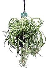Pianta di Clorofito o Chlorophytum Pianta vera di