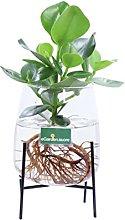 Pianta di Clusia Rosea Idro pianta da interno