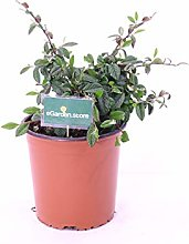 Pianta di Cotognastro pianta di Cotoneaster