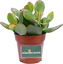 pianta di crassula pianta grassa da interno di