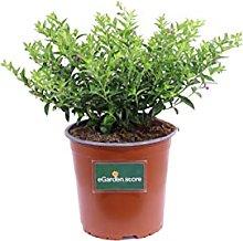Pianta di Cuphea Hyssopifolia Rosa pianta da