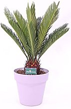 pianta di Cycas Revoluta pianta vera di Cycas
