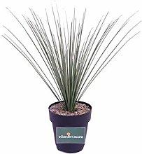 pianta di Dasylirion Longissimum palma di