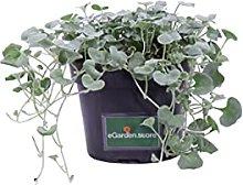 Pianta di Dichondra Argentea Silver Falls pianta