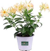 pianta di Dipladenia pianta da fiore di dipladenia