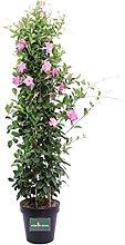 Pianta di Dipladenia pianta rampicante di