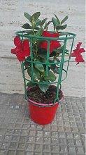 Pianta di dipladenia -vaso 14cm- altezza 30/40 cm