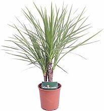 pianta di Dracena Indivisa pianta da esterno