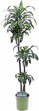 Pianta di Dracena varietà Dorado Pianta da
