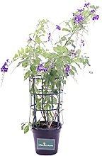 Pianta di Duranta Repens pianta da esterno pianta