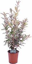 Pianta di Eleagnus Ebbingei pianta esterno pianta
