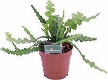 pianta di Epiphyllum pianta grassa di Disocactus