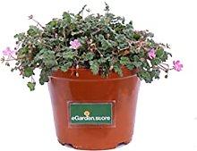 Pianta di Erodium Pianta di Erodio pianta da