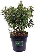 Pianta di Escallonia Red Dream pianta da esterno