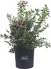 Pianta di Escallonia X Hybrida Pride Of Donard