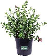 Pianta di Escallonia X Hybrida Rubra Macrantha